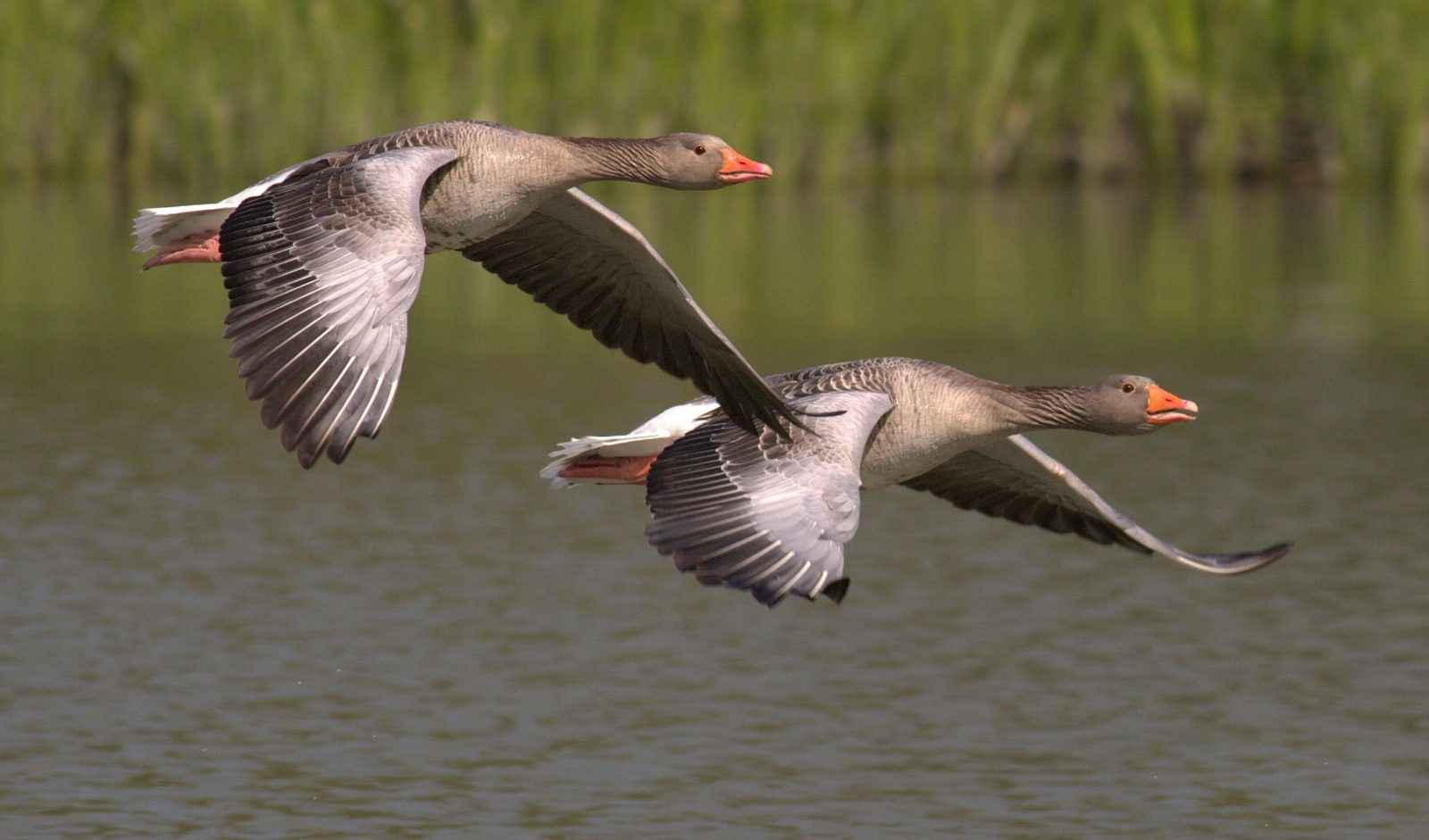 two canada geese flying by
