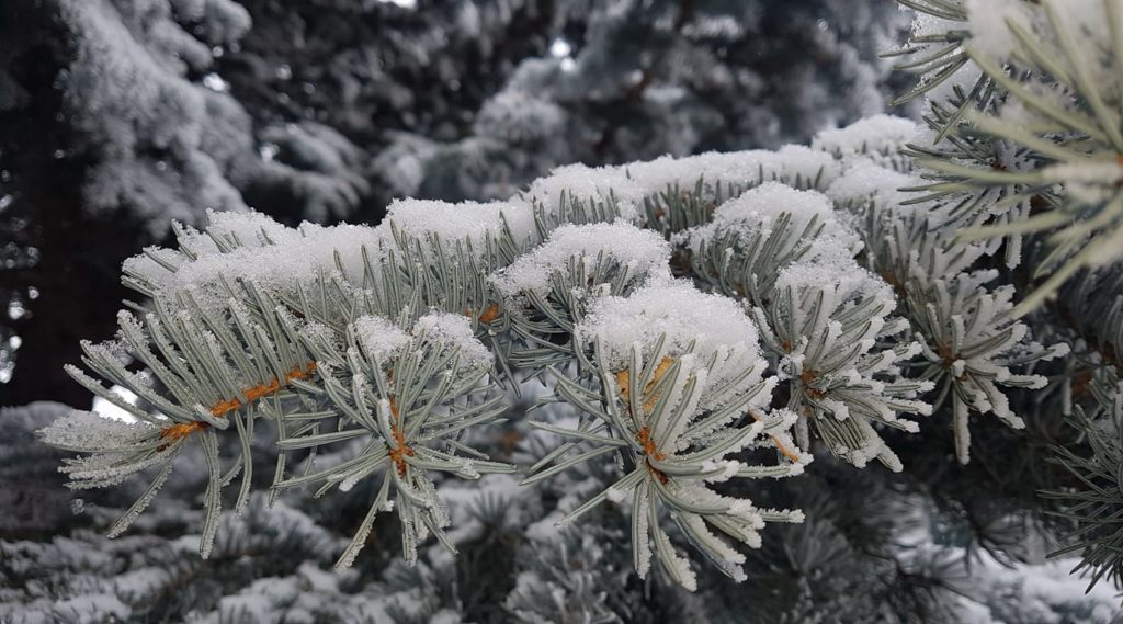Frost and snow on pine needles