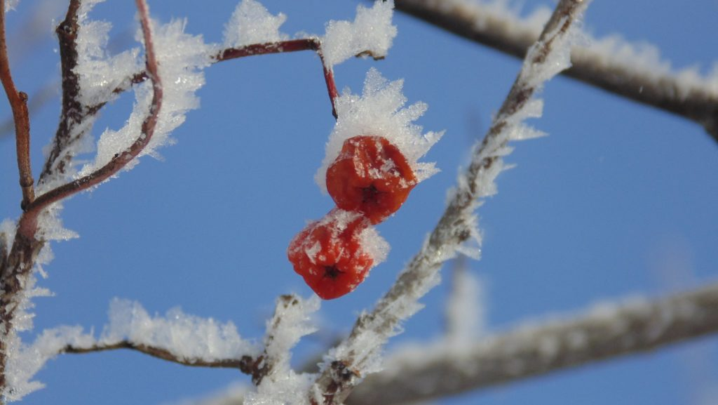 ice crystals on Mountain Ash berries
