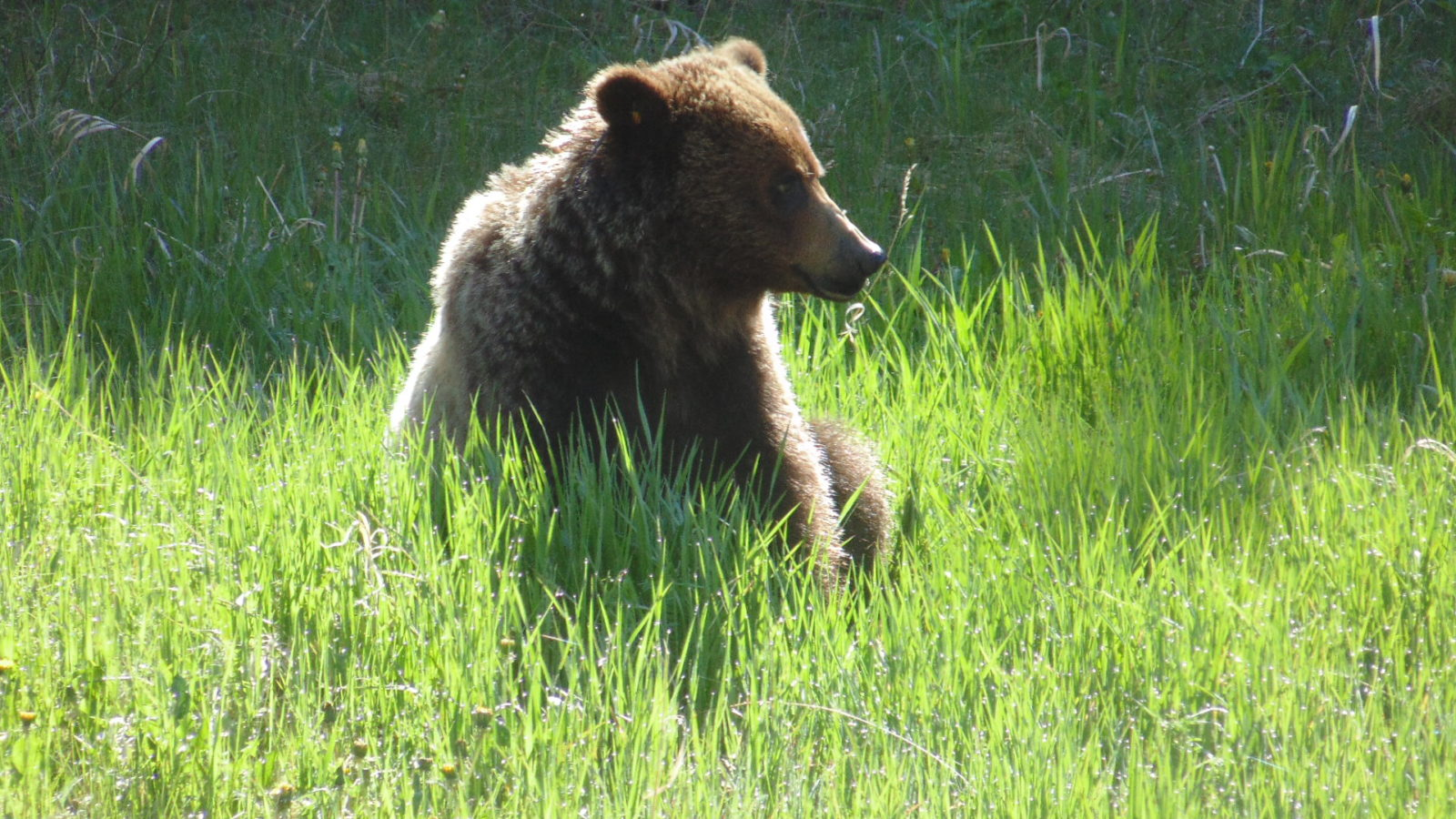 Wildlife Photography: Grizzly Bear in Kananaskis County