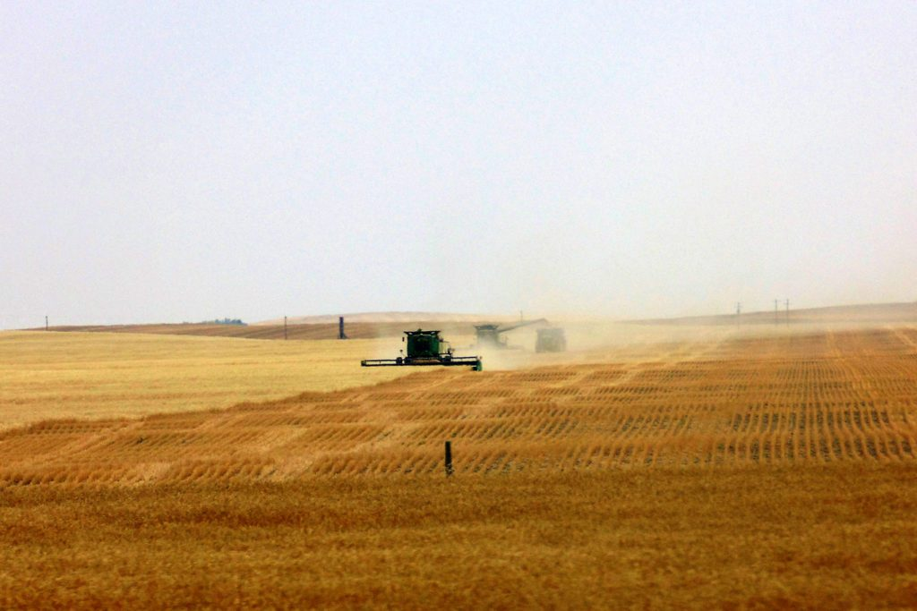 Combines working in wheat field
