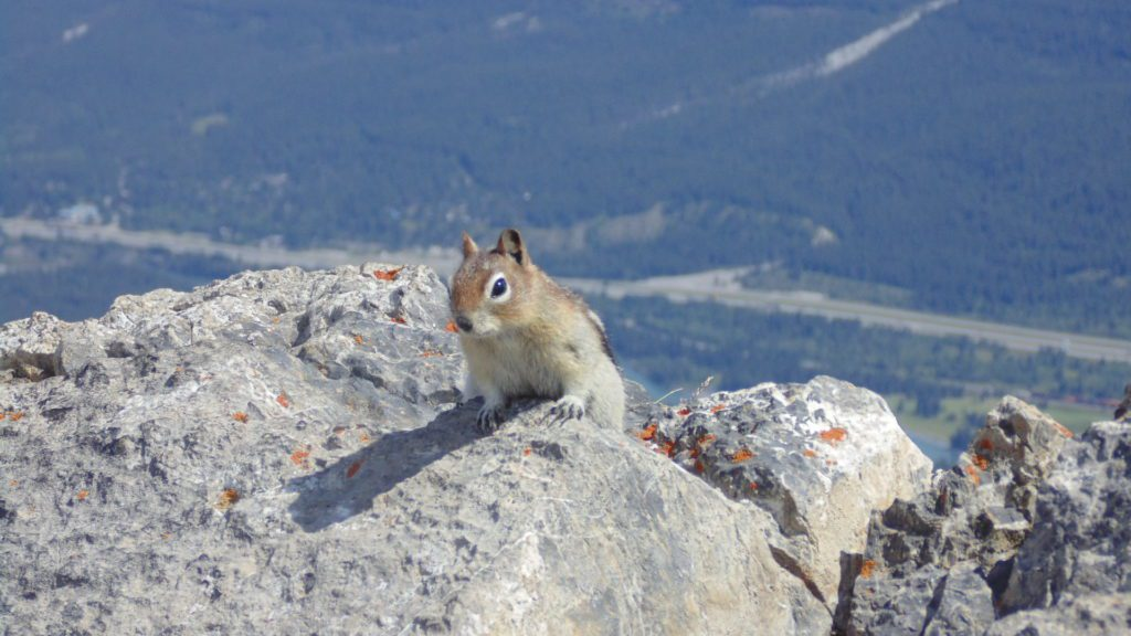 Chipmunk close-up, on Mount Ha Ling, Canmore, AB
